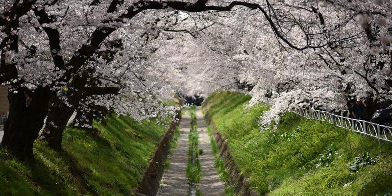 足利市立桜小学校の桜並木