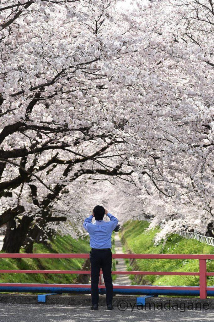この桜をいつまで見られるのだろう